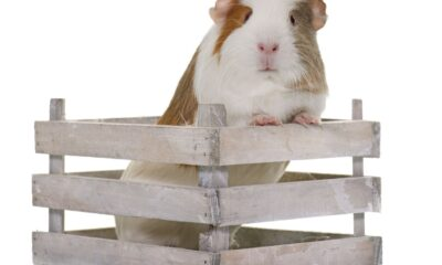 Cavia domestica Come allevare il porcellino d'india